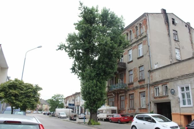 Topola przy ul. Żeromskiego do wycinki