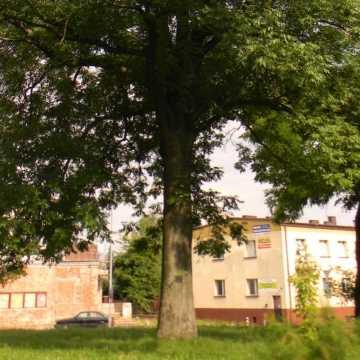 Potrzeba 1 400 zł na pielęgnację jesionu na Skwerze im. S. Niemca w Radomsku