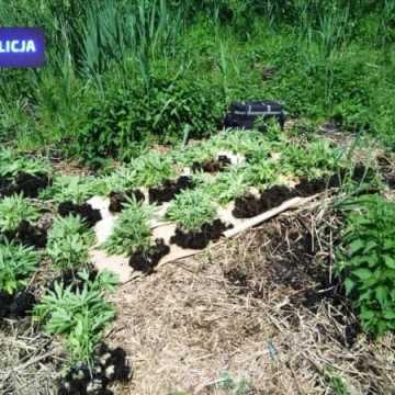 Policjanci zlikwidowali plantację konopi indyjskich