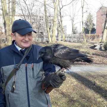 Sokolnik płoszy gawrony i kawki w parku Świętojańskim w Radomsku