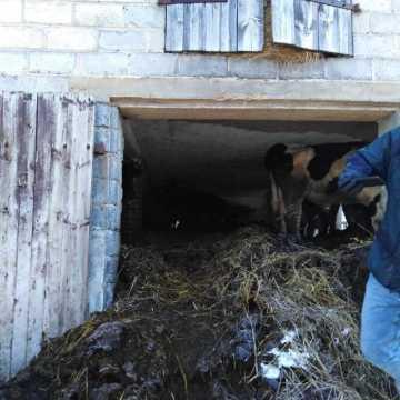 W gospodarstwie w gminie Żytno trzymano w złych warunkach krowy. Interweniowała policja i inspekcja weterynaryjna