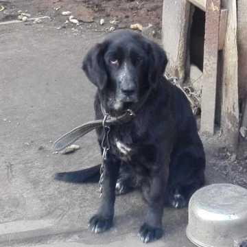 Pies Kaja przykuta latami do łańcucha. Teraz potrzebuje pomocy na operację