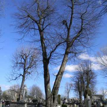 Rosnąca na Starym Cmentarzu w Radomsku 140-letnia lipa zostanie skrócona o połowę