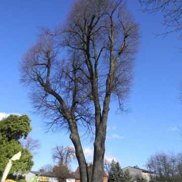 Kosmetyczne cięcia najstarszego w Radomsku drzewa