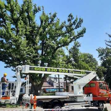 Beton zabija stare drzewa