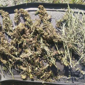 Policjanci ujawnili w lesie marihuanę. Szukają jej właściciela