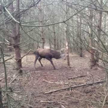 Leśnicy uratowali jelenia
