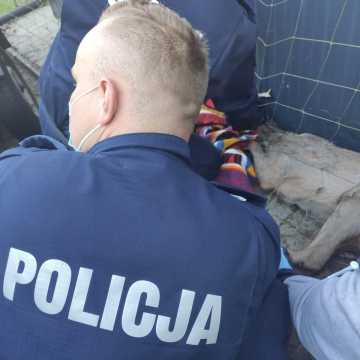 Policjanci z Kamieńska pomogli rannej sarnie
