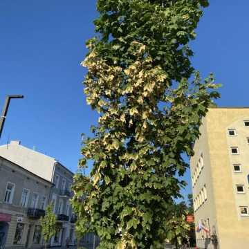 Oparzenie słoneczne drzew na ul. Reymonta w Radomsku