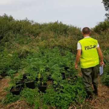 Policja zlikwidowała trzy plantacje marihuany