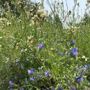 Łąka kwietna przy ul. Glinianej w Radomsku oczarowuje pięknem