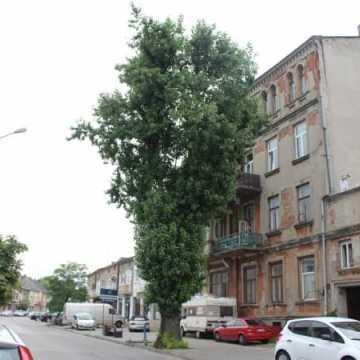 Topola przy ul. Żeromskiego w Radomsku zostanie wycięta?