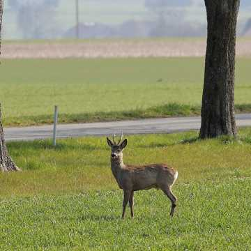 Kierowco uważaj na leśne zwierzęta!