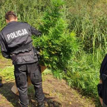 Policjanci zlikwidowali plantację konopi