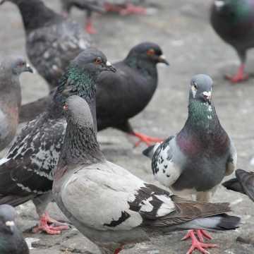 Sanepid ostrzega: uważajmy na dzikie gołębie, nie dokarmiajmy ich! Możemy to przepłacić zdrowiem i życiem!