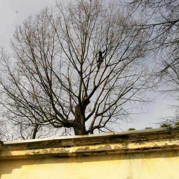 Trwa pielęgnacja najstarszej topoli w Radomsku