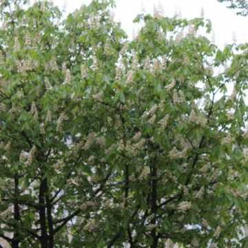 Zakwitły kasztany – matury czas zacząć!