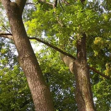 Radny Rączkowski: drzewa w Parku Świętojańskim zagrażają życiu mieszkańców