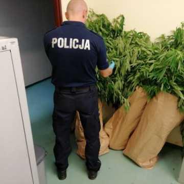 Policjanci odkryli plantację konopi