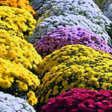 Producenci składają wnioski do ARiMR o odkupienie kwiatów. Ile wniosków jest w Radomsku?