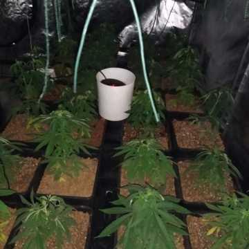 Kolejna plantacja marihuany zlikwidowana przez bełchatowskich policjantów